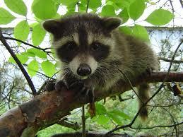 beware of raccoons acting strangely skedaddle