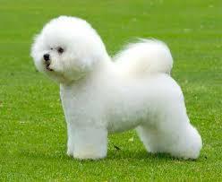bichon frise intelligence dog breed club bichon frise dog breed club