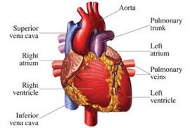 Structure Of Human Anatomy Human Body Organs Largest Organs Of The Body With Names And Functions
