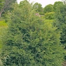eastern cedar trees nature nursery