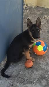 south australian german shepherd breeders german shepherd dog breed information and pictures