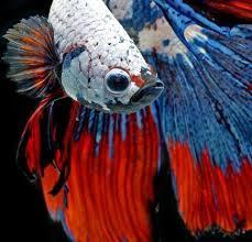 ornamental fish culture 1 0 apk androidappsapk co