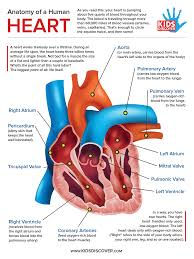Pictures Of Human Anatomy Organs Infographic Anatomy Of The Human Heart Kids Discover