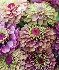 zinnia flowers lime zinnia seeds and plants annual flower seeds at