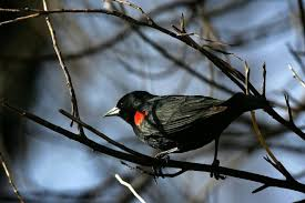 Nj Backyard Birds by 200 Red Winged Blackbirds Fall From The Sky And Die In N J Ny