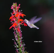 native pa plants fall berries for birds backyardsfornature org