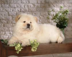 Wallpaper Dogs Chow Chow Wallpapers Wallpaper Cave