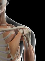 Joints Human Anatomy Anatomy Of The Human Shoulder Joint