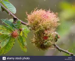 Pin Cushion Tree Robins Pincushion Gall Wasp Stock Photos U0026 Robins Pincushion Gall