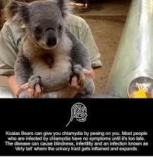 Koala Bear Meme - koalas bears can give you chlamydia by peeing on you most people