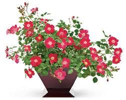 34 best flowering shrubs images on pinterest flowering shrubs