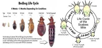Bed Bug Can Bedbugs Cause Scabies Best Scabies Treatment Dr Scabies