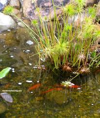 Family Garden Center Papayrus Plant In Pond With Koi Fish Garden Center Tv Garden