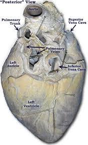 Sheep Heart Anatomy Quiz Lab 2 U2014pig Heart Labeled