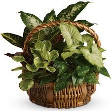 basket arrangements emerald garden basket plants the sympathy store