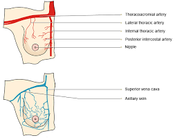 Female Breast Anatomy And Physiology Vtct Blood Supply And Venous Drainage Of The Female Breast