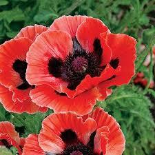 poppy poppy reviews seedratings