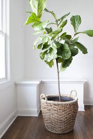 indoor climbing plant support indoor rubber tree plant indoor potted
