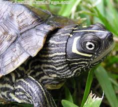 map turtle care sheet mississippi map