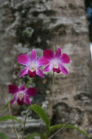47 best orchids flowers from thailand u0026 koh samui images on