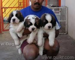 boxer dog quikr saint bernard puppy are available for sale at minimum price in