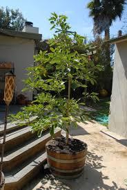 Tropische Pflanzen Im Garten Avocado Züchten Und Pflanzen Tipps Zum Urbangarten
