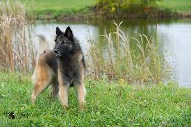 belgian sheepdog national specialty belgian sheepdog nationals 2016