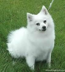 american eskimo dog dallas american eskimo dog is amazing americaneskimodog dogs