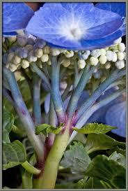 Hydrangea Flowers Mic Uk Test