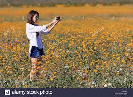 desert sunflowers anza borrego desert state park borrego springs