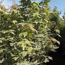 native hedging plants gardenersdream acer platanoides 60 90cm 2 3ft bare root norway
