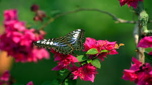 butterfly flowers butterfly and flowers hd wallpapers