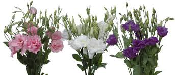 lisianthus flower learn about lovely lisianthus flower talk