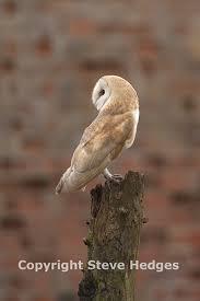 Barn Owl Photography Steve Hedges Birds U0026 Mammals Gallery