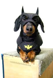 dachshund halloween costumes u0026 contest results crusoe dachshund