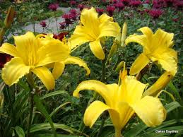 day lilies todd oakes daylilies