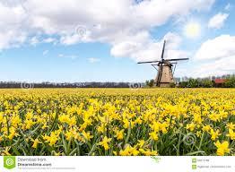 windmill at the daffodil bulb farm stock photo image 69215189