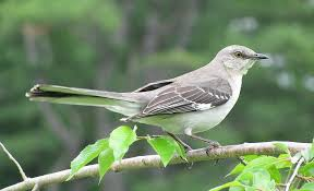 Texas birds images Texas state bird of texas northern mockingbird texas jpg