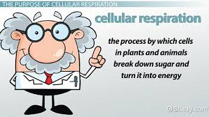 what is the purpose of cellular respiration video u0026 lesson