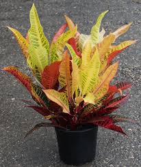 Croton Tropical Plant 10 U2033 Croton Excellente U2013 Charlie Cook Associates