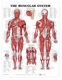 The Human Anatomy Pictures Top 20 Anatomy Charts And Models