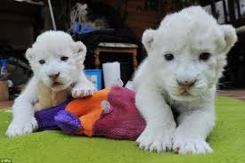 lions for sale white lion cubs born by emergency caesarian at serengeti park near