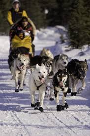 iditarod alaskan dog sledding race history rules u0026 gear