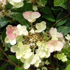 Wholesale Flowers San Diego 19 Wedding Hydrangea Flowers San Diego Wholesale Flowers