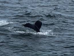 Whale Watches Cape Cod - wild whales hyannis cape cod gina pacelli