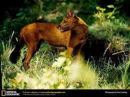 asian wild dog picture asian wild dog desktop wallpaper free