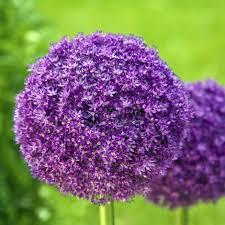 Names Of Purple by Buy Ornamental Onion Bulbs Allium Giganteum