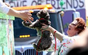 affenpinscher reviews this biloxi mardi gras parade is for the dogs the sun herald