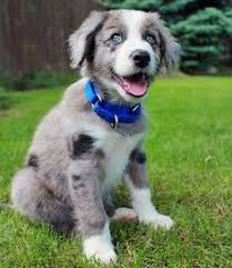 australian shepherd pomeranian mix new philadelphia oh australian shepherd border collie mix meet
