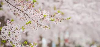 cherry blossoms nature things to do visit kochi japan